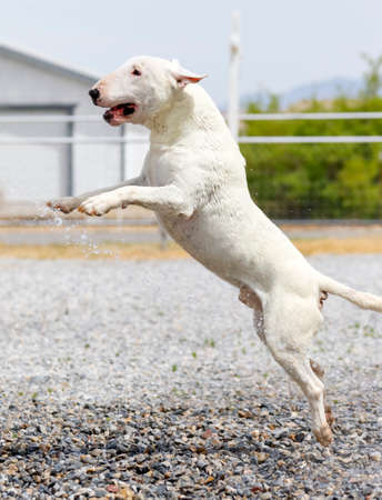 White bull terrier jumping in the rocks while playing with the water from a hose Stock Photo