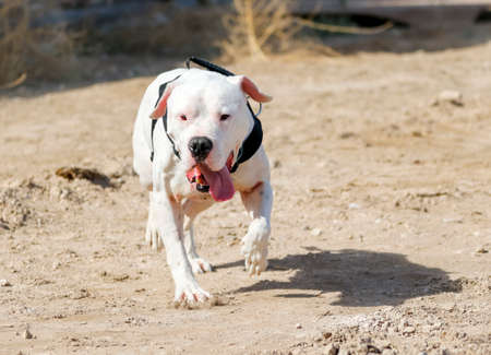White pitbull out for a walk in Nevada desert in the Spring