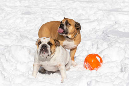 Two English Bulldogs playing with a ball in the snow Stock Photo