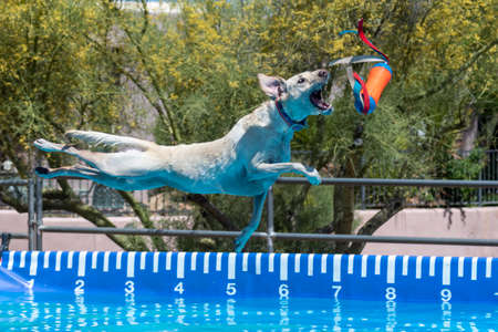 Yellow Lab dog catching a toy during an event after jumping off a dock over a pool Stock Photo
