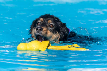 Black and tan Australian Shepherd dog swimming and grabbing a yellow toy Stock Photo