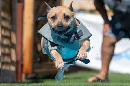 Am Staff dog in a gray floatation vest jumping into a pool