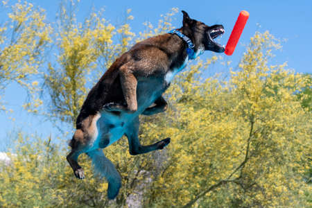 Malinois catching a toy after jumping off a dock during an event Stock Photo