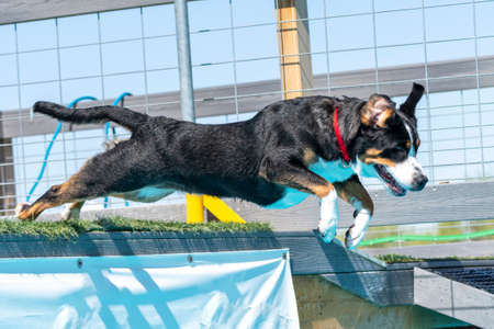 Swiss mountain dog in a dock diving competition jumping off of a dock into the pool Stock Photo
