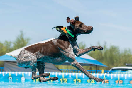 German shorthair pointer dog about to land in a pool after jumping during a dock diving competition