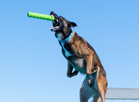 Malinois about to catch a toy in mid air while jumping off a dock Stock Photo