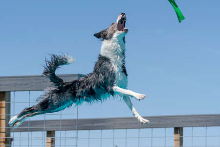 Border collie dog in mid air ready to catch a toy while dock diving into a pool