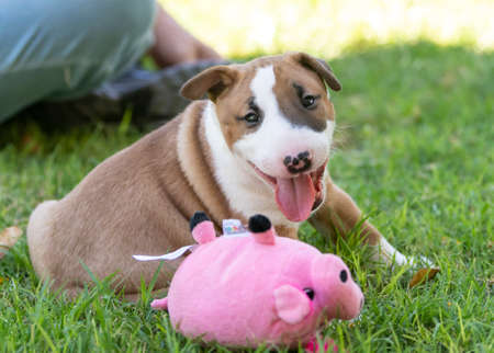 Smiling bull terrier puppy playing in the grass with a pink pig toy