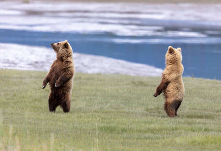 Two Alaskan brown bears standing on their hind legs scenting the air