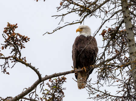Adult bald eagle on a branch sitting in a tree on a gray day