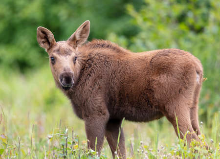 Moose calf grazing in a grass field Stock Photo