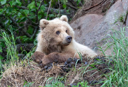 Coastal brown bear in Alaska on a rock ledge in his nesting area