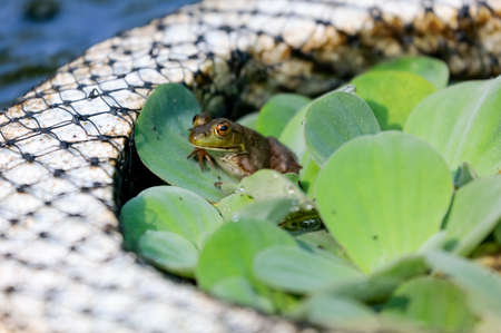 Small green frog in an outdoor fountain sitting on a lilypad