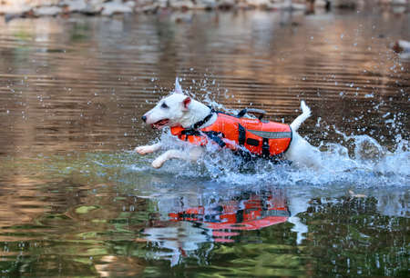 Miniature white bull terrier in an orange life vest jumping into a creek to swim Stock Photo