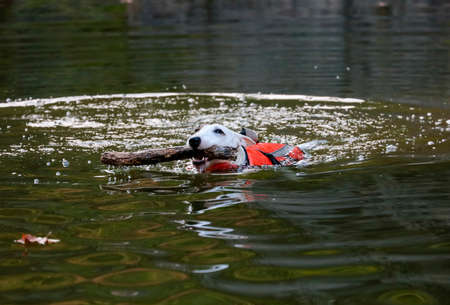 Miniature white bull terrier swimming in a creek with a stick Stock Photo