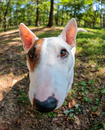 Miniature bull terrier stands still for an up close, outdoor portrait using a fish eye lens Stock Photo