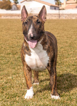Large brindle bull terrier standing in a park and posing for the camera
