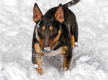 Winter photo of a black and tan bull terrier playing in the snow