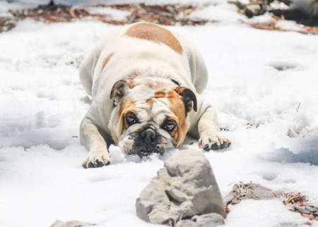 Bulldog in the snow lying and playing in the winter