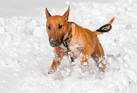Red miniature bull terrier running and playing in the snow Stock Photo