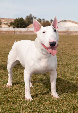 Female white bull terrier playing at the park and posing for a photo