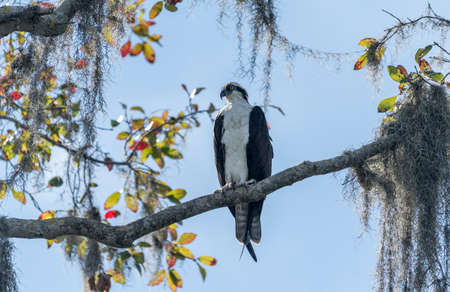 Osprey in Florida standing on a moss covered branch in a tree