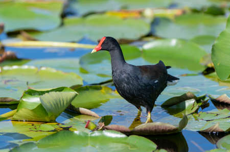 A moorhen or marsh hen, in the water in Florida, standing on a lily pad Stock Photo