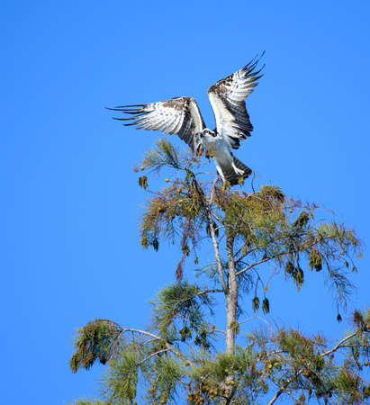 An osprey with his wings up starting to take off from a tree top