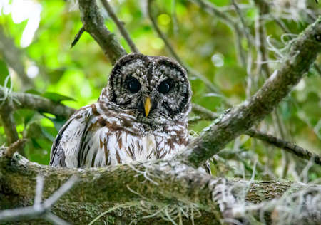 A barred owl high in a tree between branching staring down
