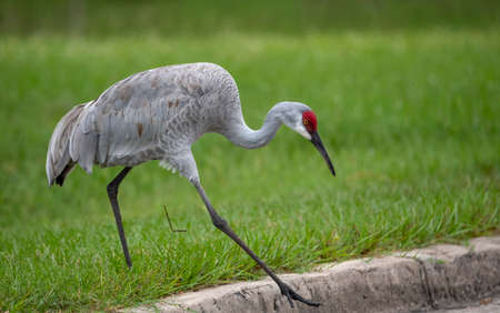 Large sandhill crane stepping off a curb into the road Stock Photo