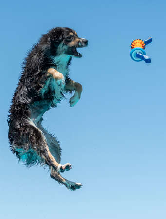 Australian shepherd about to catch a toy that was thrown over a pool