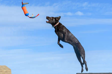 Brown Labrador retriever catching a toy during a dock diving event Stock Photo