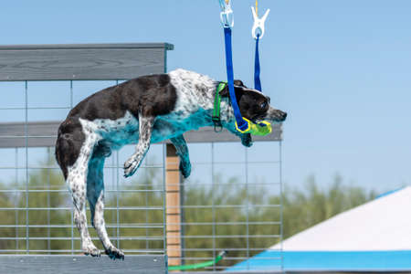 Mixed breed dog about to grab a toy during a dock diving event