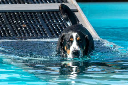 Swiss Mountain Dog going swimming in a large pool after walking down the ramp