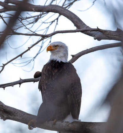 Adult bald eagle high in a tree peeking out between branches