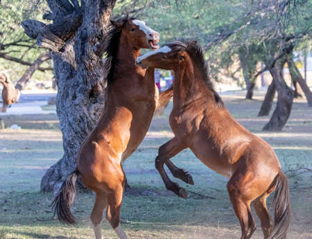 Wild horses in a grove sparing and playing with each other Stock Photo