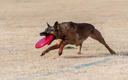 Malinois catching a bright colored disc at the park in the dead grass playing a game