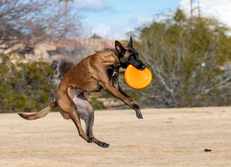 Belgian Malinois playing a disc game at the park dropping down after catching the orange disc Stock Photo