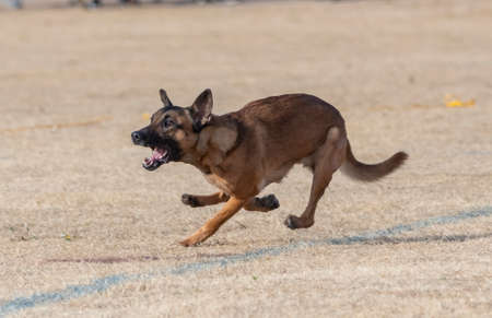 Belgian Malinois running in the dead grass at the park playing a game