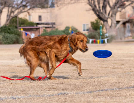 Golden Retriever on a long lead learning to play a disc game at the park Stock Photo