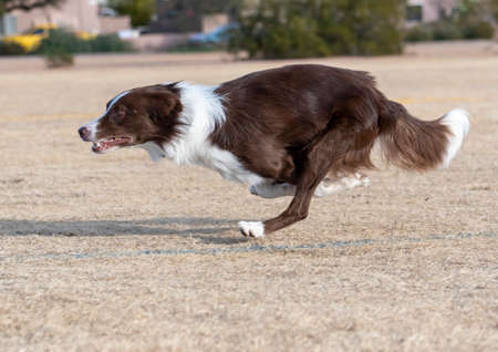 Brown and white border collie at the park running in the yellow grass