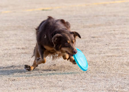 Brown border collie just catching a disc as it drop in dead grass at the park