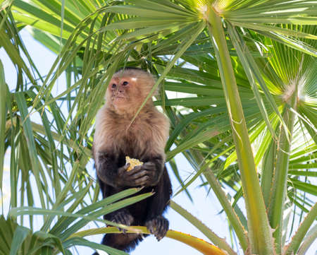 Macaque monkey sitting high in a tree eating a piece of corn Stock Photo