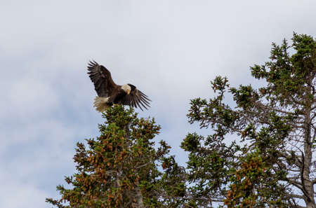 Adult bald eagle in Alaska landing on the top of a tree
