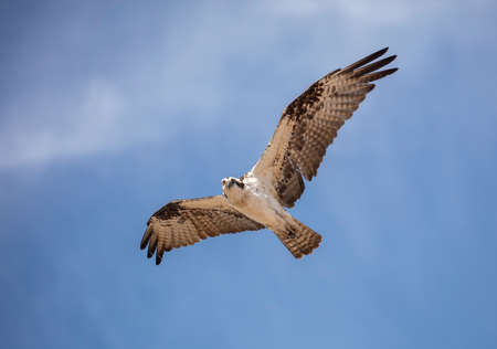 Osprey flying against the blue sky looking at the camera while hunting for food Stock Photo