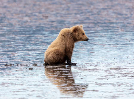 Alaskan brown bear sitting at low tide waiting to dig for clams