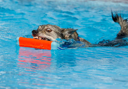 Swedish Vallhund dog in the swimming pool grabbing a toy Stock Photo