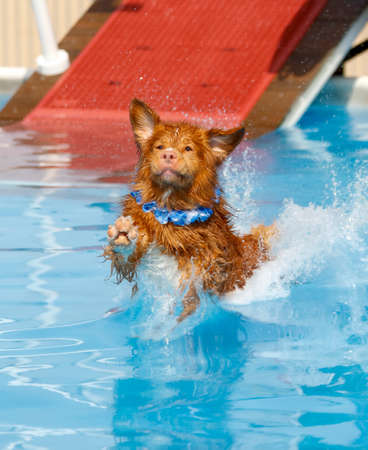 Nova Scotia Duck Toller landing in the pool at a dock diving event while wearing a blue lei
