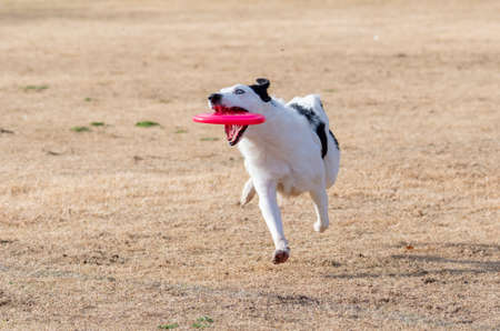 Border collie playing toss and fetch on the winter grass and catching a pink disc Stock Photo