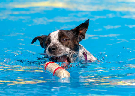 Mixed breed dog in the swimming pool about to grab a bumper toy